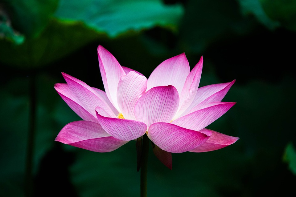 lotus image from pixabay